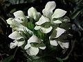 Prunella laciniata - verticilo - yerba doncella. (7552234278).jpg