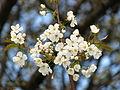 Prunus avium 02.JPG