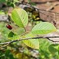 Prunus padus in La Jaysinia (1).jpg