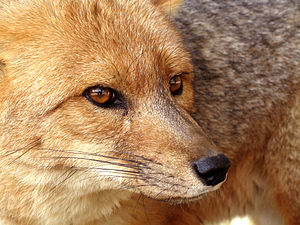 Whiskers - A Patagonian fox showing four major cranial groups of vibrissae: supraorbital (above the eye),  mystacial (where a moustache would be), genal (on the cheek, far left), and mandibular (pointing down, under the snout).