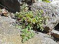 Pseudofumaria lutea 2017-04-20 8403.jpg