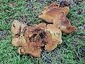 Pseudomerulius curtisii (Berk.) Redhead & Ginns 544129.jpg