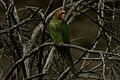 Psittacara pereretensis.jpg
