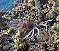 Pterois sp. (Lion Fish).jpg