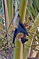 Pteropus samoensis2-2-2.jpg