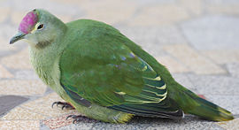 Ptilinopus greyii -mainland of New Caledonia- sub-adult -8.jpg