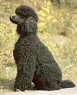 Poodle Wikipedia