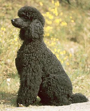 Poodle - Black Standard Poodle