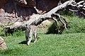 Puma concolor stanleyana - Texas Park - Lanzarote -PC03.jpg
