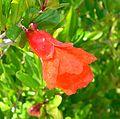 Punica granatum Nana flower.jpg