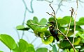 Purple Sunbird - Cinnyris asiaticus.jpg
