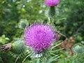 Purple Thistle (2747902656).jpg
