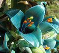 Puya berteroniana (8401485926).jpg
