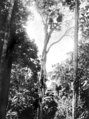 Queensland State Archives 895 Jungle Avenue Malanda c 1931.png
