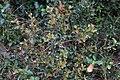 Quercus coccifera-Chêne Kermès-20150422.jpg