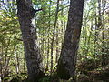 Quercus petraea Navarra(2).JPG