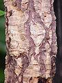 Quercus suber1.jpg