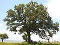 Quercus virginiana 2010.jpg
