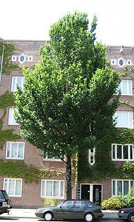 <i>Ulmus</i> Clusius Elm cultivar