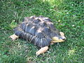Radiated tortoise 2.jpg