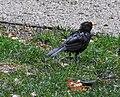 Rainy day blackbird (20625984890).jpg