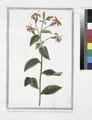Rapuntium Americanum coccineo flore lineis albis eleganter picto (NYPL b14444147-1125113).tiff