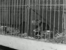 Bestand:Ratten als huisdier Weeknummer 73-46 - Open Beelden - 9409.ogv