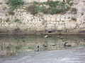 Raven in Mamillah Pool (7402746240).jpg
