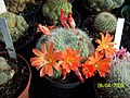 Rebutia with orange flowers (3421816901).jpg
