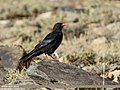 Red-billed Chough (Pyrrhocorax pyrrhocorax) (38741267445).jpg
