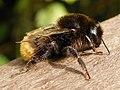 Red-tailed Bumblebee (Bombus lapidarius) (9660226405).jpg