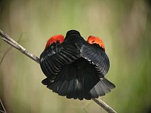 dark bird with red shoulder patches