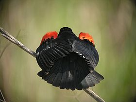Red-winged Blackbird (gubernator ssp).jpg