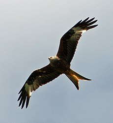 Red Kite (Milvus milvus) over the Thames near Reading.jpg
