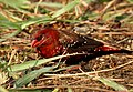 Red Munia Amandava amandava Male by Dr. Raju Kasambe DSCN0824 (6).jpg