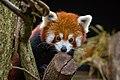 Red Panda (24676535218).jpg