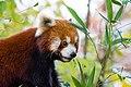 Red Panda (37661797545).jpg