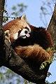Red Panda Rasberries.jpg