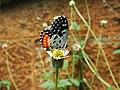 Red Pierrot (Talicada nyseus) - Nectaring.jpg
