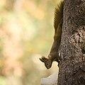 Red squirrel (43794439580).jpg