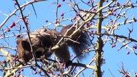 File:Red squirrel (Sciurus vulgaris) eating berries.webm