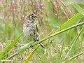 Reed Bunting (Emberiza schoeniclus) (49814706668).jpg