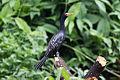 Reed Cormorant (Microcarbo africanus) (8079995433).jpg