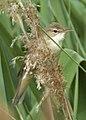 Reed Warbler 1 (3598112208).jpg