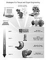 Regenerative Medicine - Tissue and Organ Engineering.jpg