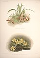Reichenbachia - Second Series vol. 1 (TAB. 11).jpg