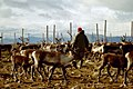 Reindeer herding.jpg