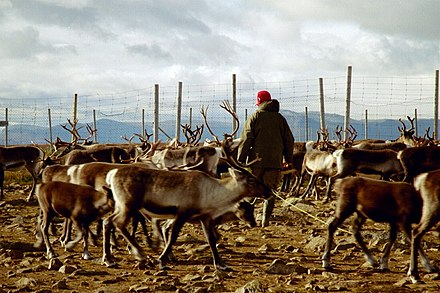 Reindeer herds form the basis of pastoral agriculture for several Arctic and Subarctic peoples. Reindeer herding.jpg