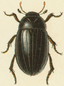 Reitter-1908 table79 Hydrochara caraboides adult.png