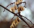 Reynoutria japonica fruit (21).jpg